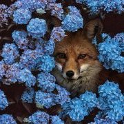 sheffield_fox