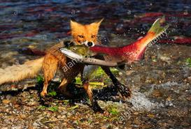 foxSalmon.PNG.fb144baf94d21352a0118178451288e9.PNG